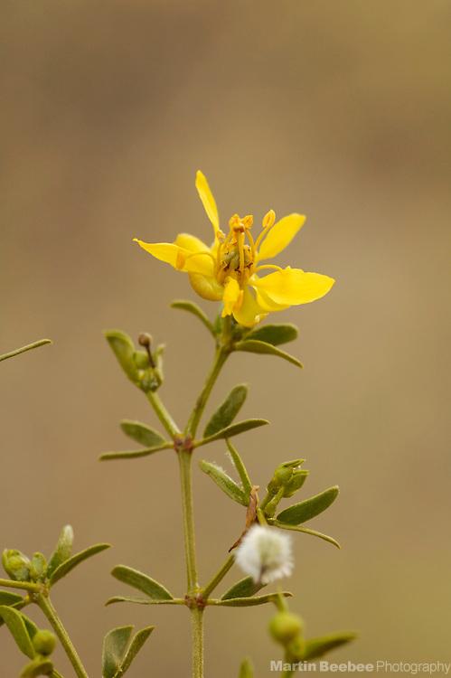 Creosote flower and seed, (Larrea tridentata), spring, Sabino Canyon Recreation Area, Coronado National Forest, Arizona