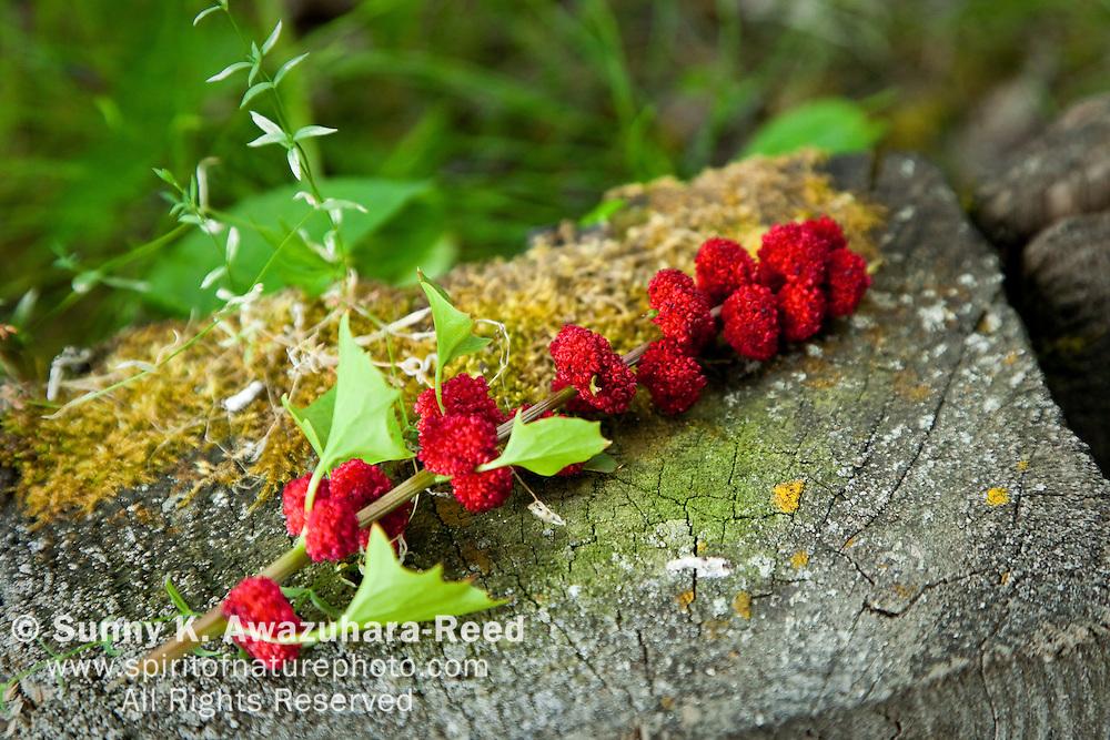 Strawberry Spinach, Wrangell - St. Elias Park, Alaska