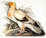 Egyptian vulture (Neophron percnopterus). This vulture is native to the Mediterranean, Turkey, parts of Africa and parts of India. At less than 60 centimetres in length it is small, but is well known due to its habit of using stones as tools to break open ostrich eggs. Its main food supply however is waste and refuse, which it often finds around human habitation. 18th century watercolor painting by Elizabeth Gwillim. Lady Elizabeth Symonds Gwillim (21 April 1763 – 21 December 1807) was an artist married to Sir Henry Gwillim, Puisne Judge at the Madras high court until 1808. Lady Gwillim painted a series of about 200 watercolours of Indian birds. Produced about 20 years before John James Audubon, her work has been acclaimed for its accuracy and natural postures as they were drawn from observations of the birds in life. She also painted fishes and flowers. McGill University Library and Archives