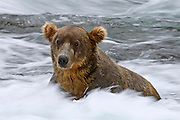 A Grizzly Bear (Ursus arctos) poses motionless while a long shutter speed blurs the rapids around him in Katmai National Park, Alaska.