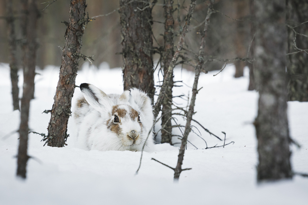Mountain hare (Lepus timidus) in partially moulted winter coat hiding in snow and small pine trees, near Balvi, Latvia Ⓒ Davis Ulands   davisulands.com