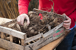 Inspecting stored dahlia tubers for signs of rot