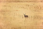 Whitetail buck in prairie habitat.
