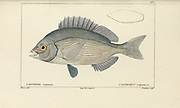 Cantharus from Histoire naturelle des poissons (Natural History of Fish) is a 22-volume treatment of ichthyology published in 1828-1849 by the French savant Georges Cuvier (1769-1832) and his student and successor Achille Valenciennes (1794-1865).
