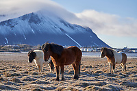 Icelandic horses near Borgarnes. Mount Hafnarfjall in background. West Iceland.