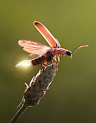 A macro shot of a lightning bug showing off its glow light as it takes off in flight.