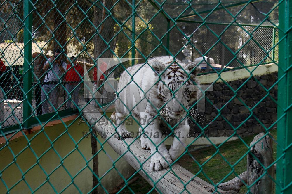 CALIMAYA, Mex - El Zoologico de Zacango es uno de los lugares que recibe mas especies producto de decomisos en diversas zonas del país, por ello se busca el poder ampliar las instalaciones  e incrementar la capacidad de exhibicion,; tal es el caso de una cachorra de tigre de bengala que se encuentra ya en exhibicion después de haber sido decomisada en Toluca por PROFEGA. Agencia MVT / Crisanta Espinosa.