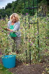 Removing Latyrus odoratus - sweet peas - after they have succumbed to powdery mildew