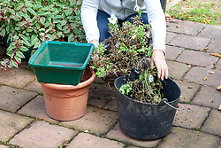 Saving compost from a hanging basket after summer planting has fininshed flowering