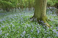 BLUEBELL Hycanithoides non-scripta (Liliaceae) Height to 50cm. Attractive and hairless, bulbous perennial that grows in woodland and also on coastal cliffs. In wooded areas where the management regime suits its needs (sympathetically coppiced Hazel is ideal) it forms extensive and continuous carpets on the woodland floor. FLOWERS are bell-shaped with 6 recurved lobes at the mouth, and are bluish purple (very occasionally pink or white); borne in 1-sided drooping-tipped spikes (Apr-Jun). FRUITS are capsules. LEAVES are long, 15mm wide, glossy green and all basal. STATUS-Widespread throughout the region and sometimes locally abundant.