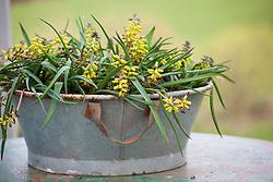 Muscari macrocarpum 'Golden Fragrance' in a galvanised pot. Grape hyacinths