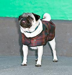 Edinburgh International Film Festival, Thursday, 28th June 2018<br /> <br /> PATRICK (SPECIAL SCREENING)<br /> <br /> Pictured:  Harley the dog<br /> <br /> (c) Alex Todd | Edinburgh Elite media