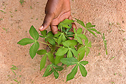 A young organic Cassava plant in dry earth, Burkina Faso.