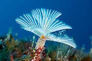 Spiral tube worm, Spriographis spallanzani, Faial, Azores, Portugal