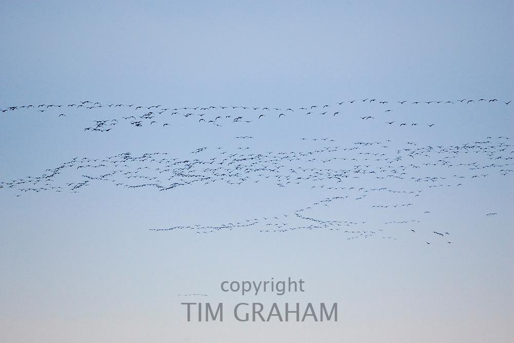 Pink-footed Geese migration, Holkham, Norfolk. Migrating birds could risk Avian Flu (Bird Flu Virus)
