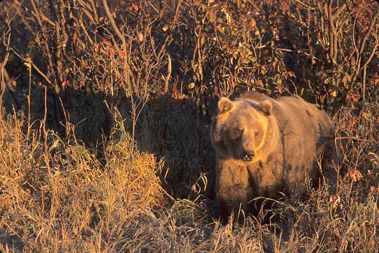 Grizzly Bear, (Ursus horribilis) Montana. Rocky mountains.   Captive Animal.