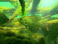 Black Crappie-Inside a fish crib<br /> <br /> ENGBRETSON UNDERWATER PHOTO
