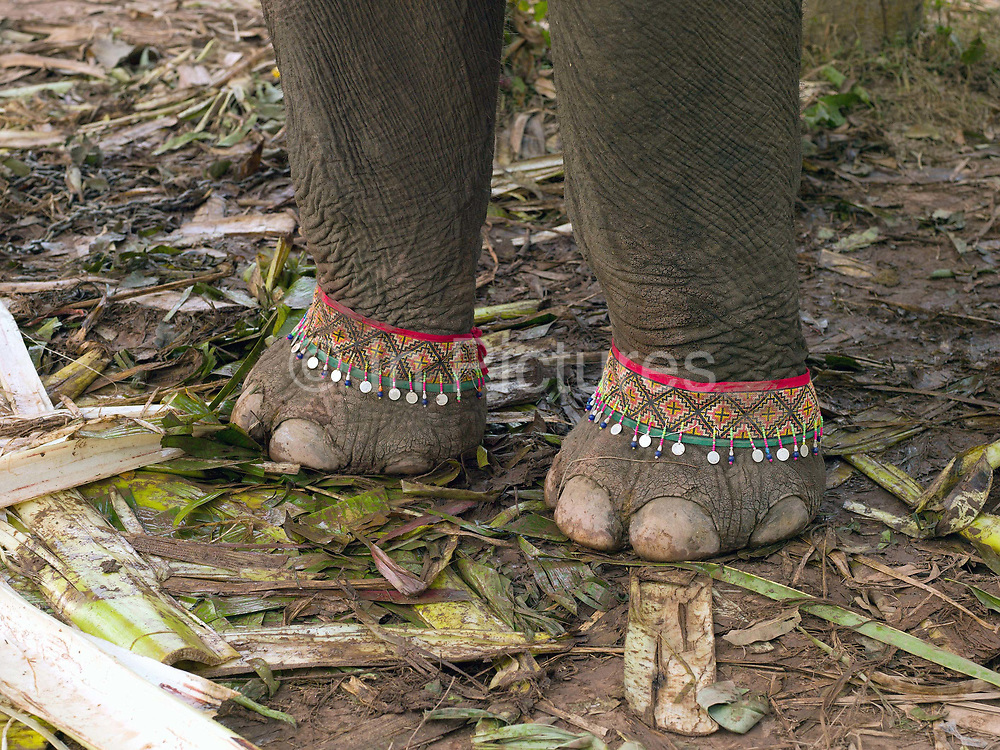 The front feet of an Asian elephant decorated ready for the procession at the annual Sayaboury elephant festival, Sayaboury province, Lao PDR. Originally created by ElefantAsia in 2007, the 3-day elephant festival takes place in February in the province of Sayaboury with over 80,000 local and international people coming together to experience the grand procession of decorated elephants. It is now organised by the provincial government of Sayaboury.The Elephant Festival is designed to draw the public's attention to the condition of the endangered elephant, whilst acknowledging and celebrating the ancestral tradition of elephant domestication and the way of life chosen by the mahout. Laos was once known as the land of a million elephants but now there are fewer than 900 living in the country. Around 470 of them are in captivity, traditionally employed by a lucrative logging industry. Elephants are trained and worked by a mahout (handler) whose relationship to the animal is often described as a marriage and can last a lifetime. But captive elephants are often overworked and exhausted and as a consequence no longer breed. With only two elephants born for every ten that die, the Asian elephant, the sacred national emblem of Laos, is under serious threat of extinction.