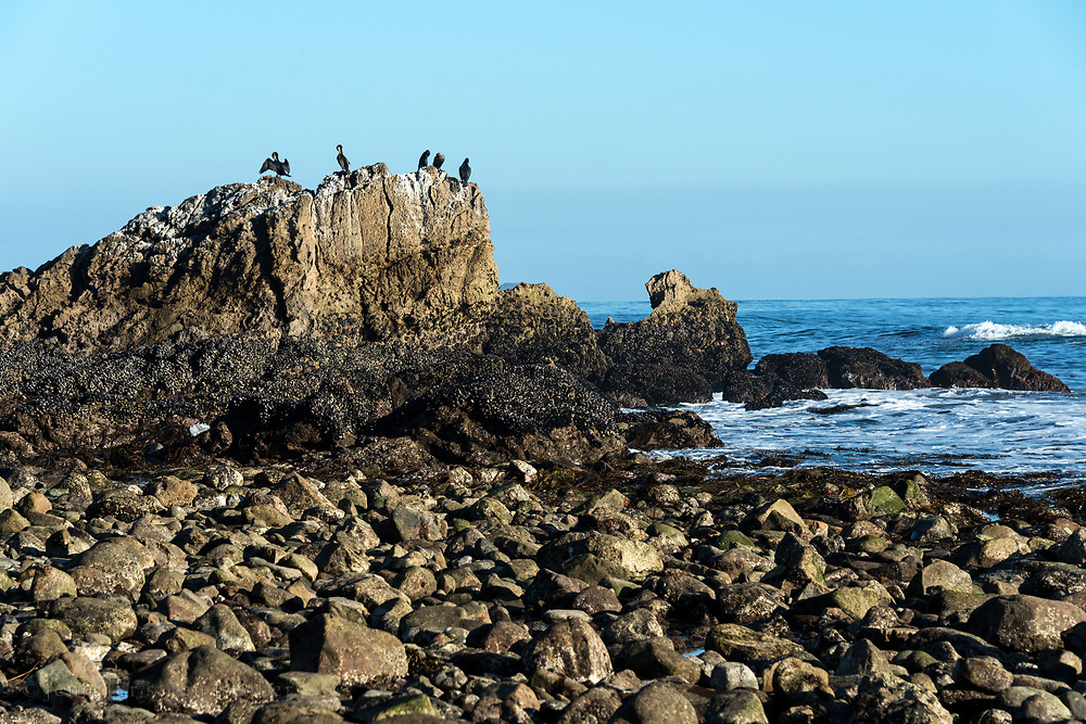 Five Double-crested Cormorants gathered atop a large rock outcrop at low tide, Leo Carrillo State Park, Malibu, California.