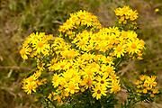 Yellow Common Ragwort flowers, Senecio jacobaea L., growing in Suffolk Sandlings, near Shottisham, Suffolk, England, UK