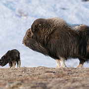 A mother Muskox and her baby. Alaska