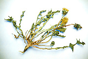 Still life of dried dandelion flower leaves and root