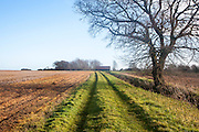 Landscape of long straight grassy path passing a tree in winter, Sutton, Suffolk, England