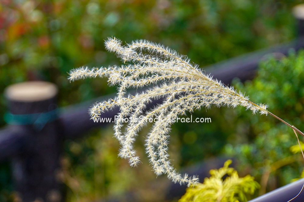 Flowering white reed plant. Photographed in Osaka Japan in October