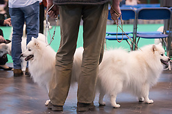 © Licensed to London News Pictures. 10/03/2016. A dog owner hold two Japanese Spitz dogs before a judging competition. Crufts celebrates its 12th anniversary as the Worlds largest dog show. Birmingham, UK. Photo credit: Ray Tang/LNP