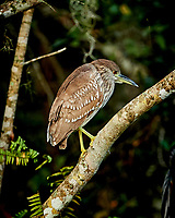 Immature Black-crowned Night Heron perched on a branch in Big Cypress Swamp. Image taken with a Nikon Df camera and 400 mm f2.8 lens (ISO 800, 400 mm, f/4, 1/1000 sec).