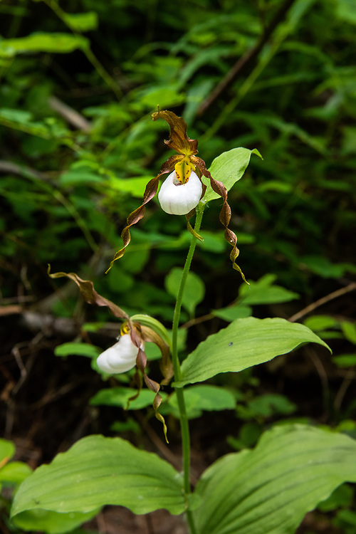 An exquisitely beautiful pair of the rare and beautiful mountain lady's-slipper (Cypripedium montanum) in its natural environment! This native orchid  was part of a  small colony of individuals in the Alpine Lakes Wilderness on the eastern side of the Cascade Mountains in Washington State.