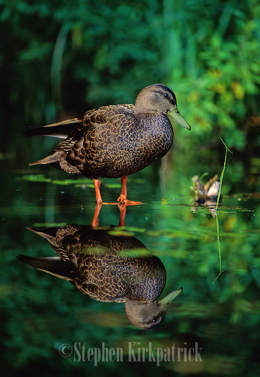 A Black Duck relaxes on a submerged log in a calm slough of a large lake - Quebec, Canada