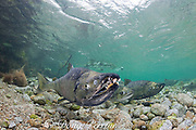 chum salmon, dog salmon, silverbrite salmon, or keta salmon, Oncorhynchus keta, in spawning stream, female in center, males on left and right (with gnarly teeth ), Sheep Bay, Alaska, USA ( Prince William Sound )