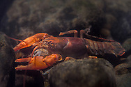 Mitten Crayfish<br /> <br /> Isaac Szabo/Engbretson Underwater Photography