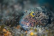 Snubnose grouper (Epinephelus macrospilos)