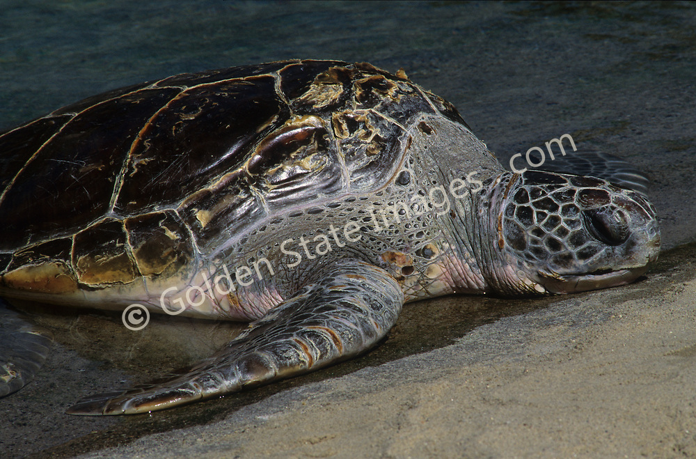 Named for its large head. A large turtle adults can weigh up to 250 pounds with a length of over 3 feet. Listed in 1978 as a threatened species.    <br /> <br /> Range: Found in all tropical and subtropical oceans    <br /> <br /> Species: Caretta caretta
