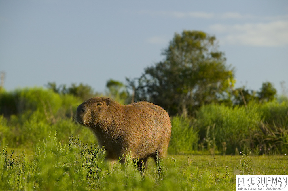 An adult male capybara (Hydrocoerus hydrochaeris) stands in the grass looking at the camera, Parque Nacional Santa Teresa, Estacion Biologica Potrerillo de Santa Teresa, Uruguay, South America