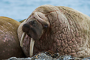 Atlantic Walrus Poolepynten colony<br /> (Odobenus rosmarus)<br /> Spitsbergen<br /> Svalbard<br /> Norway<br /> Arctic Ocean<br /> Poolepynten haul out