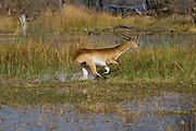 Red Lechwe or Southern Lechwe (Kobus leche)<br /> Moremi Game Reserve, Okavango Delta<br /> BOTSWANA<br /> HABITAT & RANGE: Marshes or flooded areas of Botswana, Zambia, Congo, Namibia, Angola.