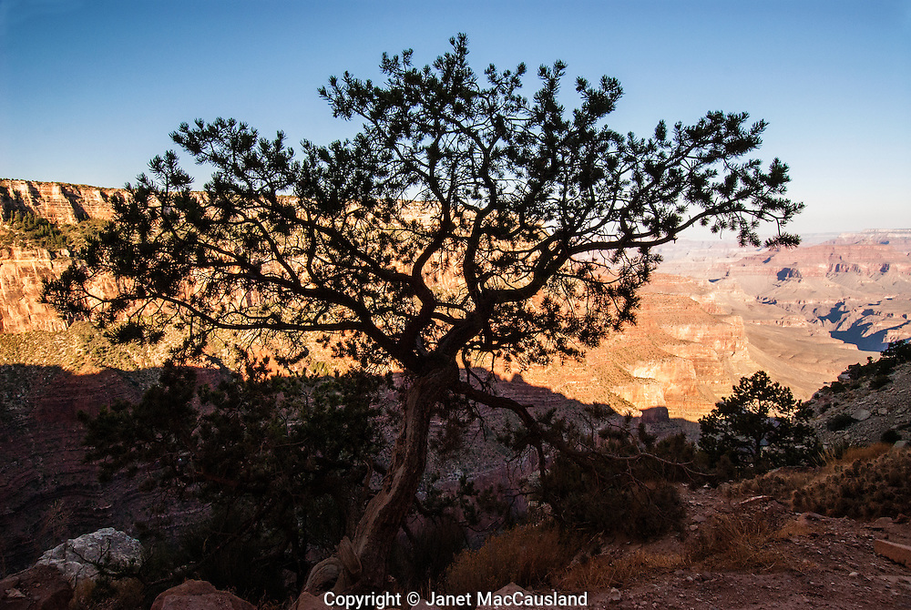 A pine tree is silhouetted against the lighted earth tones of the Grand Canyon cliffs.