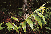 Kahili Ginger is an invasive weed that has taken over large sections of rain forest, crowding out native ferns..Volcano National Park, Big Island, Hawaii. USA.