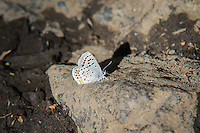 Side-view of an acmon blue butterfly in Central Washington in bright late-afternoon sunlight. This tiny butterfly has a wingspan of just over an inch.