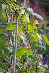 Runner Bean 'Aurora' - Phaseolus coccineus 'Aurora' - with bee