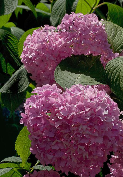 enlarged view of pink hydrangeas in bloom
