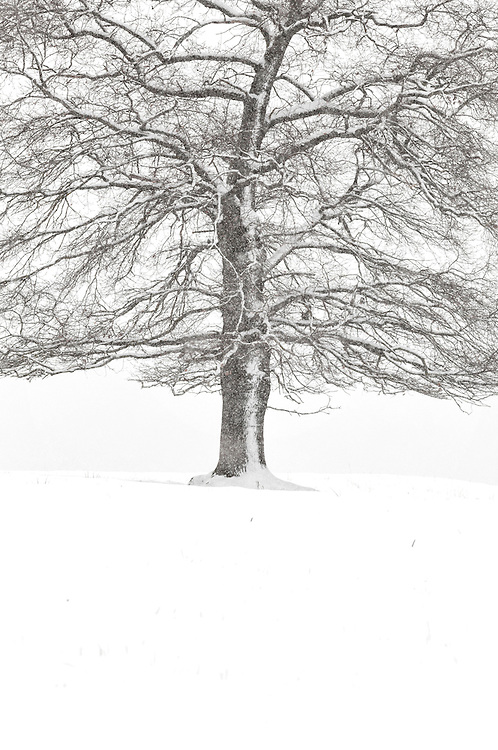 Oak tree, Quercus,  in the snow