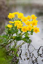 Caltha palustris, Marsh Marigold, Kingcup by the Wildlife Pond