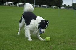 Eddie Sander with his Dogs Jackson and Inka<br /><br />18 June 2004<br /><br />Copyright Paul David Drabble<br /> [#Beginning of Shooting Data Section]<br />Nikon D1 <br /> Focal Length: 50mm<br /> Optimize Image: <br /> Color Mode: <br /> Noise Reduction: <br /> 2004/06/18 09:54:30.0<br /> Exposure Mode: Manual<br /> White Balance: Auto<br /> Tone Comp: Normal<br /> JPEG (8-bit) Fine<br /> Metering Mode: Center-Weighted<br /> AF Mode: AF-C<br /> Hue Adjustment: <br /> Image Size:  2000 x 1312<br /> 1/250 sec - F/6.3<br /> Flash Sync Mode: Not Attached<br /> Saturation: <br /> Color<br /> Exposure Comp.: 0 EV<br /> Sharpening: Normal<br /> Lens: 50mm F/1.8<br /> Sensitivity: ISO 200<br /> Image Comment: <br /> [#End of Shooting Data Section]