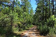 Pine trees in San Miguel de los Banos, Matanzas, Cuba.