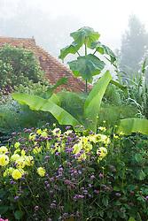Foggy morning in the exotic garden at Great Dixter. Paulownia tomentosa, Dahlia 'Gloire van Heemstede', Verbena bonariensis and Musa basjoo, the Japanese Fibre Banana