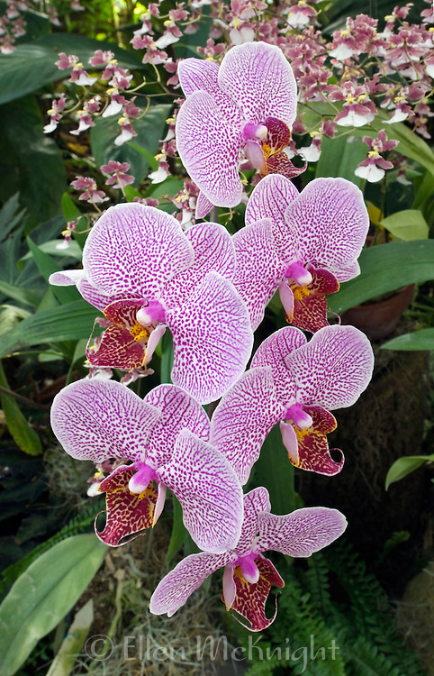 """Phalaenopsis """"Double Delight"""" orchid"""